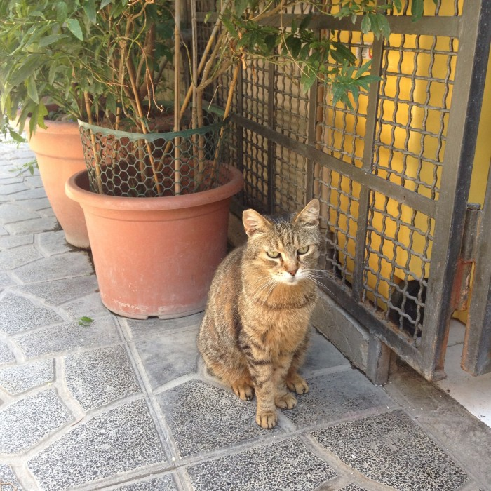 Shelter cat at Largo di Torre Argentina in Rome Italy