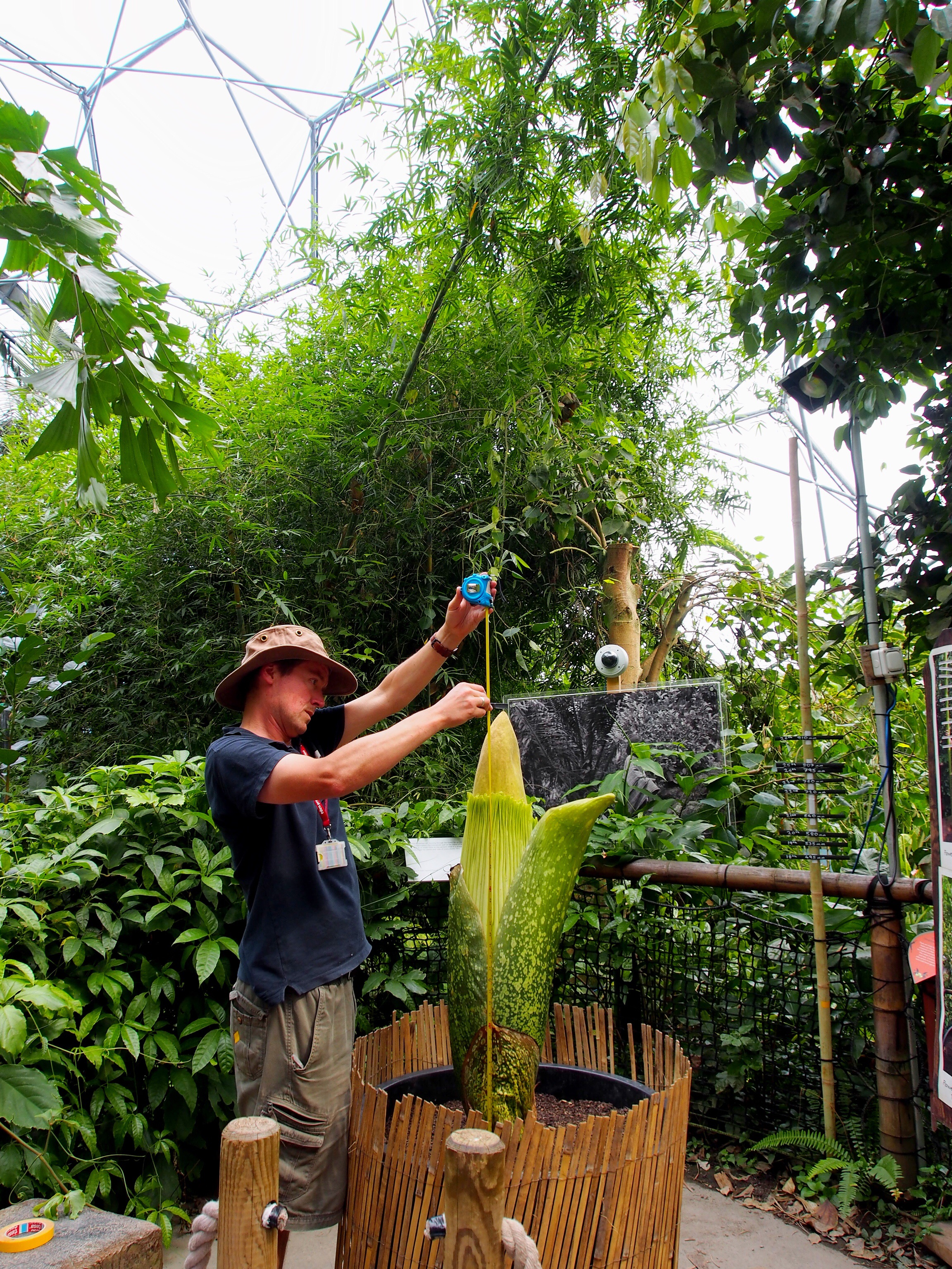 Measuring the Titan arum at the Eden Project in Cornwall| Conversation Pieces